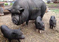 малый бизнес на выращивание вьетнамских свиней