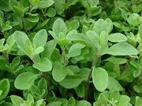 технология выращивания лекарственного растения майоран