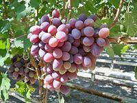 как сделать бизнес на выращивание винограда в теплицах