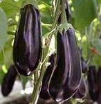 выращивание и продажа баклажанов как вариант малого бизнеса