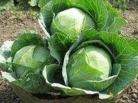 выращиваем и продаем белокочанную капусту