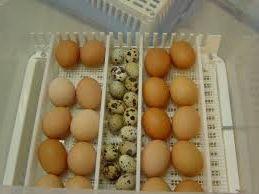 заработок на инкубации яиц сельскохозяйственных птиц