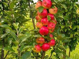 свой бизнес: выращивание колоновидных яблонь с высокой урожайностью