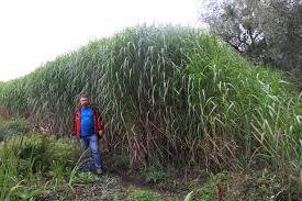 выращивание и продажа мискантуса как альтернативное топливо