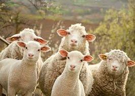 свой бизнес, разведение и продажа овец