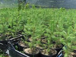Свой бизнес, выращиваем саженцы хвойных деревьев, и зарабатываем 4 миллиона рублей за год