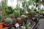 выращиваем и продаем кактусы