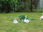 оригинальная идея: бизнес на охране газонов от гусей