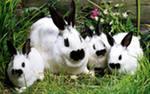 кролик – это не только мясо и шкурки но и хорошая машина за сезон