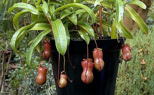 Хищные растения как товар